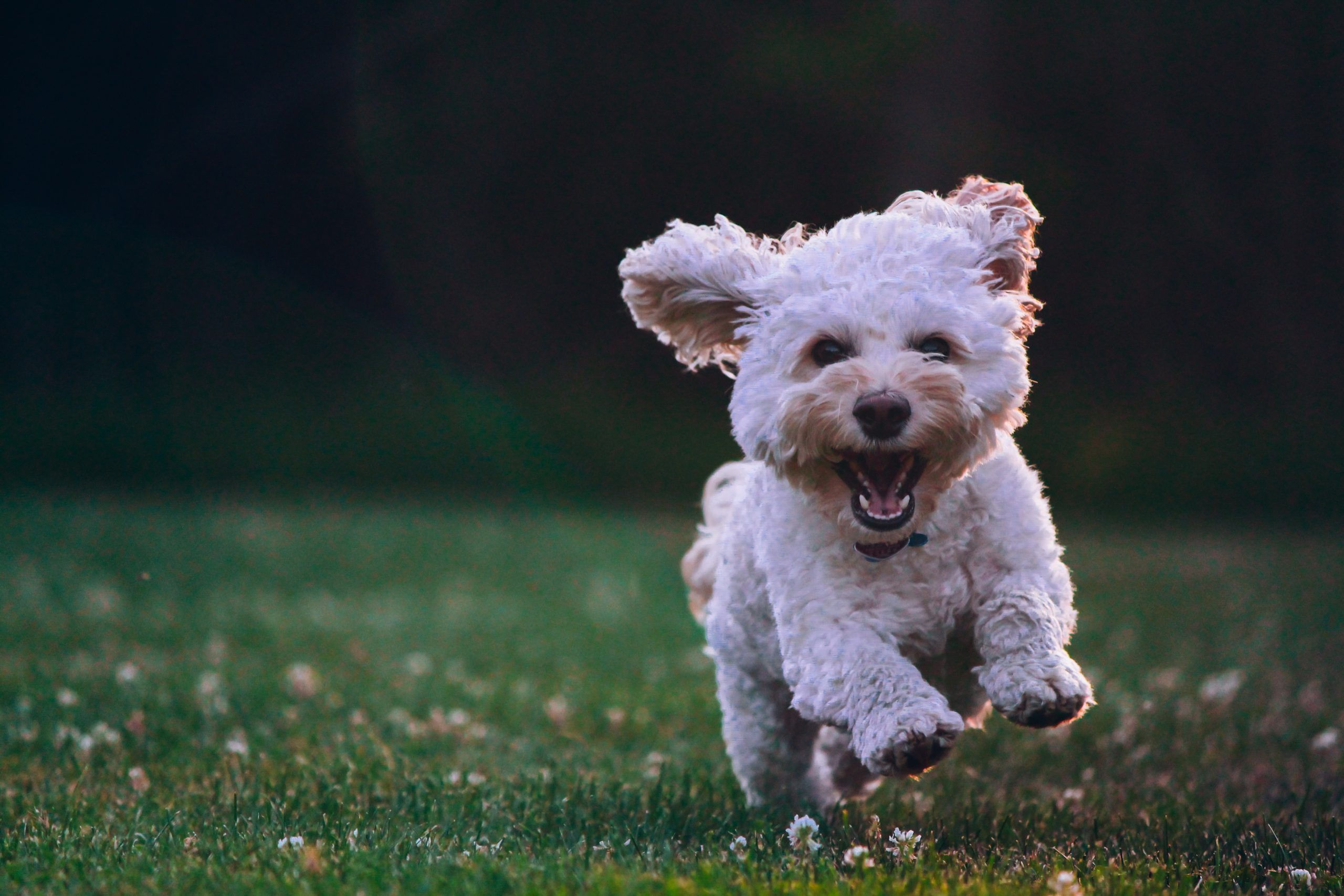 petit chien blanc qui court dans l'herbe